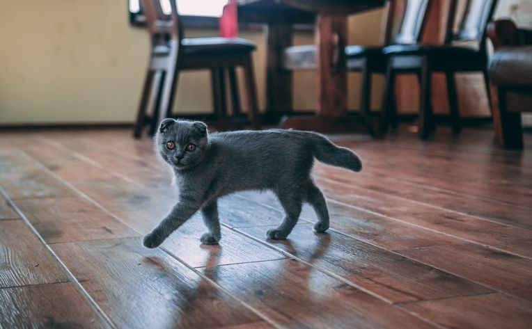 Cute Kitten Luxury Vinyl Flooring
